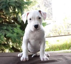 Dogo Argentino - like an all white Coco! These dogs are amazing...saw them on a documentary.x