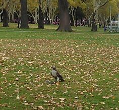 Couldnt believe my eyes! Today! Spotted an Eagle preparing lunch! In Jersey City's Lincole Park!