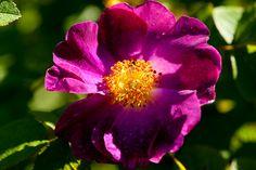 La belle Sultane, Rosa gallica by Peter Karlsson, via Flickr