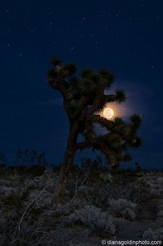 Joshua Tree and full moon by Diana Goldin. This is what my home looks like. <3 I do love the Antelope Valley.