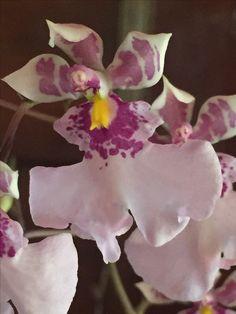 Orquídea Caucaea mimética