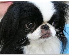 Items similar to 4 Dog Puppy Japanese Chin Greeting Notecards/ Envelopes Set on Etsy Havanese Dogs, Chihuahua Dogs, Schnauzer Puppies, Retriever Puppy, Dogs Golden Retriever, Cute Puppies, Dogs And Puppies, Doggies, Japanese Chin Puppies