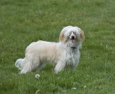 Chinese Crested Photo Gallery – Pictures Of Chinese Cresteds ...
