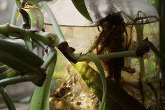 Egy nap a növény a saját súlyánál fogva ledőlt a polcról és a szára össze-vissza tört. Most arra vár, hogy minden letört része újra gyökeret eresszen, és elültetve önálló növényként éljen tovább.