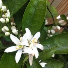 Satsuma blossoms in full bloom, New Orleans, March 2012.