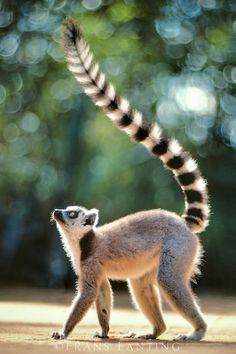 ring tailed lemur lemur catta berenty reserve madagascar
