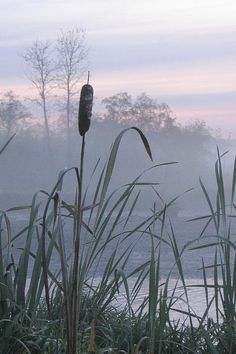 *Misty Morning - Burnaby Lake, B.C. (by Frank Townsley)