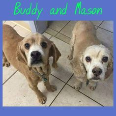 Meet Buddy and Mason! These two are a bonded pair of 8 yr. old Cocker Spaniel mixes. These two are very good as they obey but they have a little devilish side too and like to tease. Check them out at BCF
