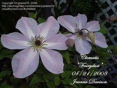 Clematis 'Fairydust'  Clematis