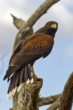 HARRIS HAWK LOOKING OVER HIS SHOULDER