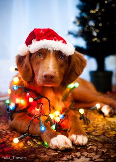 Lovely Dog With Christmas Hat And Lights