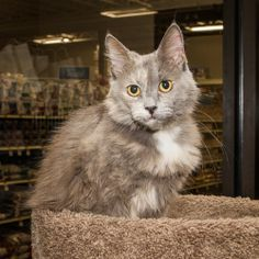 Aurora is an adoptable Domestic Medium Hair-Gray Cat in Nashville, TN.  I wasnt sure what my name meant, so I looked it up on the computer when nobody was watching. Its an awesome display of light tha...