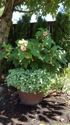 Abutilon (Flowering Maple) and Lanmium.