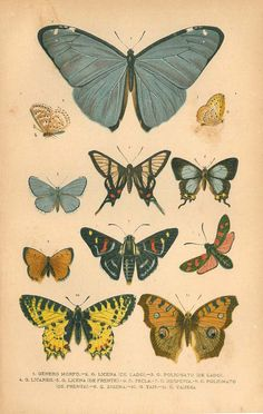 1920 Butterflies Antique Chromolithograph Entomology by carambas