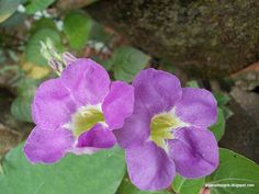 Asystasia gangetica (Chinese Violet) Acanthaceae