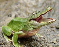 Alligator frog ... Hahaha