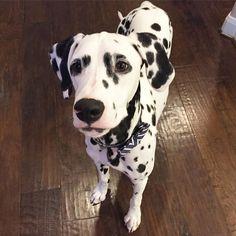 You gonna eat that? #jackson #dalmatian #dalmatianpuppy #rbdogs #beggingface…