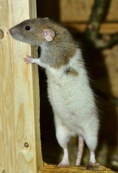 Ratte heller Bauch