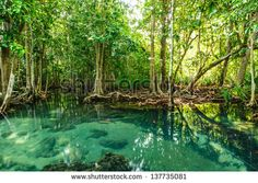 mangrove forests in Krabi province Thailand