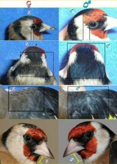 Love Birds, Beautiful Birds, Animals Beautiful, Stieglitz Vogel, Zebra Finch, Canary Birds, What Is A Bird, Australian Birds, Goldfinch