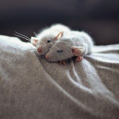 Two grey rats resting on a grey sheet.