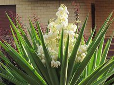 Yucca Gloriosa, Natural Antibiotics, Mediterranean Style, Garden Gifts, Outdoor Plants, Natural Medicine, Green Stripes, Evergreen, Shrubs