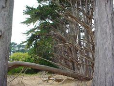 Trees at Half Moon Bay