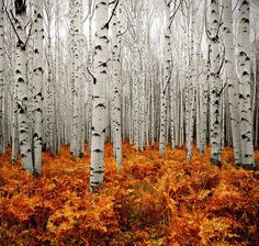 Aspen Forest is another of Colorado's extensive forest types, covering 5 million acres. The aspen is Colorado's only widespread, native, deciduous tree and can be found particularly on the West Slope. Beautiful Sites, Beautiful Places, Beautiful Forest, Trees Beautiful, Land Art, All Nature, Autumn Nature, Nature Tree, Pics Of Nature