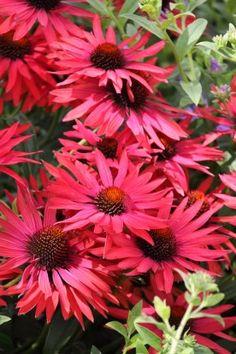 Echinacea purpurea 'Hot Summer' (Zonnehoed) De bloei is spectaculair en de bloemen hebben zwemen van roze, oranje en rood in zich. Wat een prachtige zonnehoed: Echinacea verkleurt volgens de kweker Marco van Noort van oranje naar dieprood en geurt nog bovendien. De hoogte van deze opvallende zonnehoed is 60-70 cm en de stengels zijn voldoende stevig.