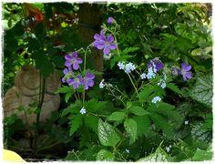 Der Wald-Storchschnabel (Geranium sylvaticum) 'Mayflower' macht sich gut im Schattenbeet.