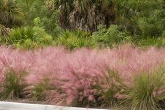 Regal Mist® Pink Muhly - Monrovia - Regal Mist® Pink Muhly, Native; deer resistant, 4'x4' in bloom, partial to full sun
