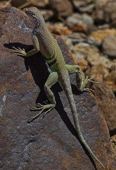 Greater Earless Lizard (Cophosaurus texanus), Big Bend National Park, Texas.  Photo: E=mcSCOW, via Flickr