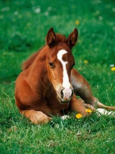 American Quarter horse foal~ sweet!! I would name it C.W for Crescent Wrench...for that super cool marking....