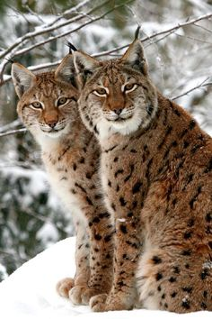 Lynx brothers who appear to be smiling..
