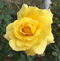 'Sunsprite ' Rose Photo FRIESIA FLORIBUNDA