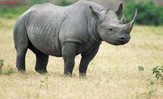 Proposta de legalização do comércio de chifres de rinocerontes aumenta ameaças à espécie