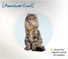 """Did you know the first American Curl was born in 1981, when a stray black longhaired kitten with curled ears was found in California and named """"Shulamith""""? Half of the kittens in her first litter also shared the curled ear quality, which is a dominant genetic mutation."""