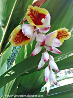 Alpinia zerumbet (shell ginger) plant profile...happy to find that my new garden has these blooming