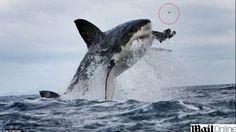 RENOVAÇÃO: Tubarão abocanha jantar, mas perde o dente...