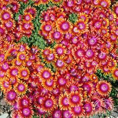 Delosperma Fire Spinner, should be hardy here, likes well drained soil, dry, lots of sun conditions