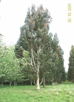 Eucalyptus fraxinoides - White Ash Gum                  Growth Rate: Rapid   Height after 5 years: 7 m   Height when mature: 45 mUseful farm/forestry tree providing timber and shelter. Requires moist, well-drained soils. OK on clay soils. White flowers from December-January. Evergreen. Hardy.