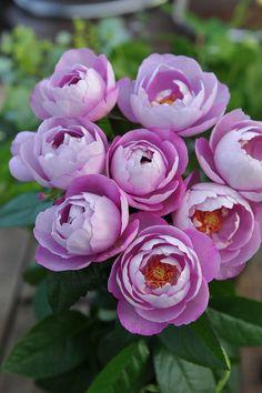 ブル ドゥ パルファム:バラの家>四季咲き・花径7~8cm・樹高1.0m。フルーティ+ダマスク・モダンの奥深く強い香り。枝はごく細く株は直立する。鉢栽培にも向く。