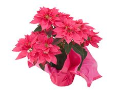 Give your sweetheart this adorable Euphorbia. Similiar to the Poinsettia, these are easy to care for and non-toxic. This is sure to be a hit with your honey!