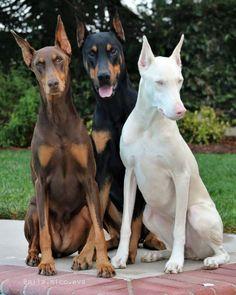 Пси Perro Doberman Pinscher, Doberman Dogs, Dobermans, Blue Doberman, Doberman Tattoo, Cute Baby Animals, Animals And Pets, Funny Animals, Beautiful Dogs