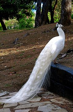 Beautiful White Peacock   <3