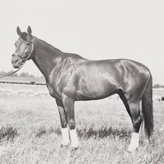 Horse Citation Pausing in Field Photographic Print Photographic Print: Race Horse Citation Pausing in Field : All The Pretty Horses, Beautiful Horses, Calumet Farm, Triple Crown Winners, Run For The Roses, Sport Of Kings, All About Horses, Thoroughbred Horse, Horse World
