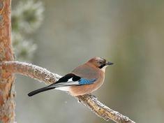 Nötskrika, Garrulus glandarius - Fåglar - NatureGate