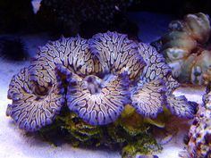 saltwater clams - Google Search Marine Fish Tanks, Marine Tank, Coral Reef Aquarium, Coral Reefs, Saltwater Tank, Saltwater Aquarium, Sea Clams, Underwater Sea, Salt Water Fish