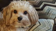 ~ Daily Dose of Cuteness ~  Hi! Joules wants to be on this page! (Shared by Jamie Spangler) #DogoftheDay http://aboutmorkies.com/ Follow us: Facebook.com/YorkiesMorkiesMaltese Twitter.com/morkienation #dog #doglovers #animals #pets #yorkies #yorkie #yorkielovers #petlovers #dogowners #puppy #adorablepets #sillydogs #smallanimals #instadogs #instayorkie #instapuppy #instaanimals #petsofinstagram #dogsofinstagram #yorkieofinstagram #puppylove #animallovers #ilovemypet #ilovemyyorkie #igdogs