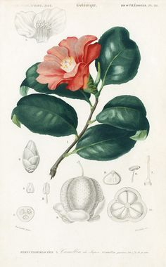 Camellia, My moms favorite flower really want a very realistic tattoo of one    I'd like to suggest my personal website about gift ideas and tips. The site is http://ideiadepresente.com  You're welcome to visiting my website!    [BR]  Eu gostaria de sugerir meu site pessoal de dicas de presentes, o site � http://ideiadepresente.com